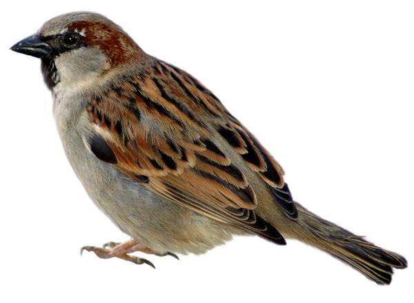 Brown Hawk Owl clipart transparent background PNG transparent images Pinterest on