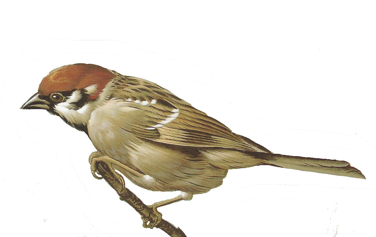 Sparrow clipart Clipart Song #6 drawings Download