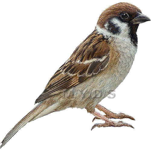 Sparrow clipart Animals clipart Tree picture Large