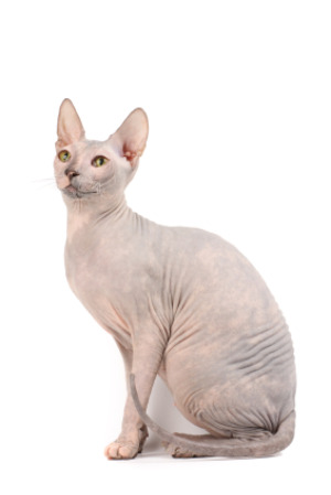 Sphynx Cat clipart  Cat Sphynx