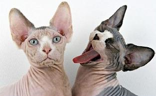 Sphynx Cat clipart Cat Sphynx Sphynx Free Cat