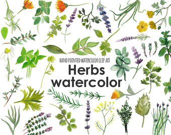 Herbs clipart watercolour Collection Herb Flower and Clip