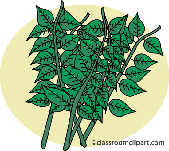 Herbs clipart oregano : Classroom oregano and oregano