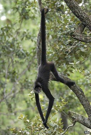 Spider Monkey clipart moneky Geoffroyi) (Ateles stem Spider a