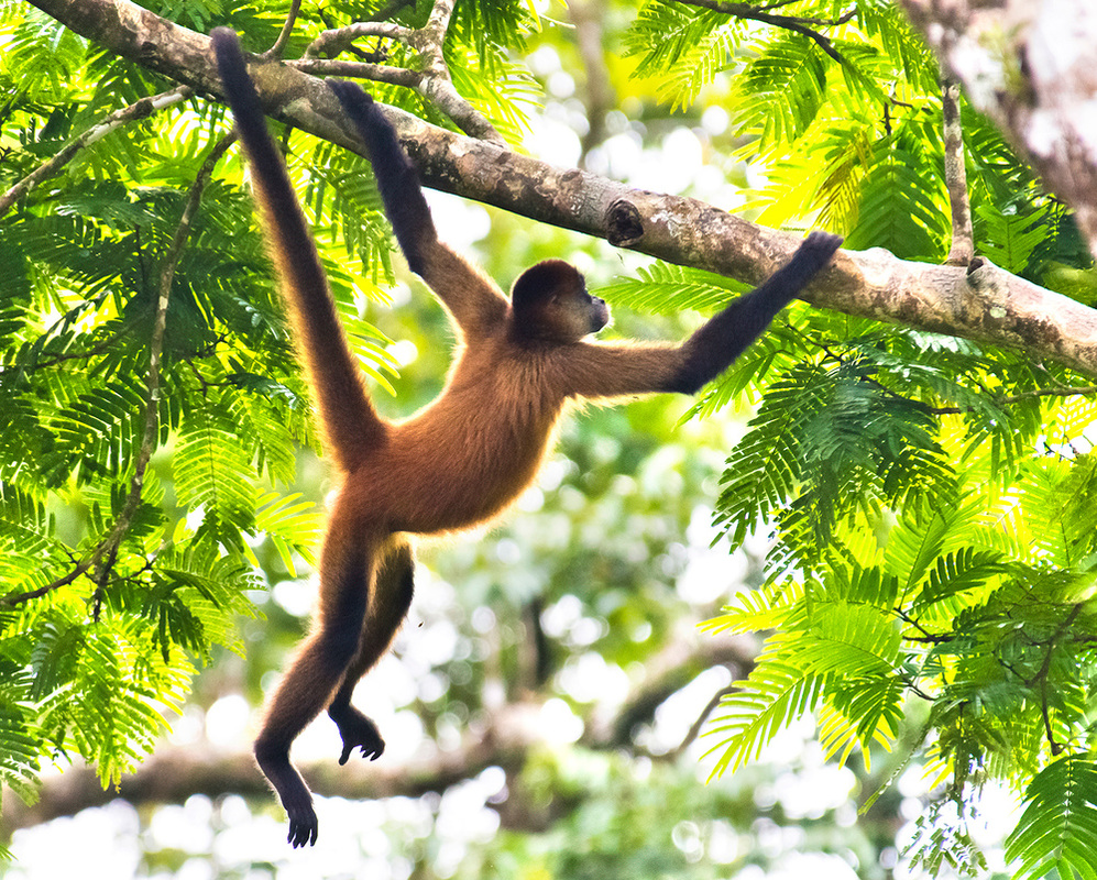 Spider Monkey clipart moneky Tree  swinging from Search