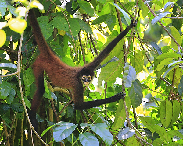 Spider Monkey clipart moneky Vine Jungle Jungle From A