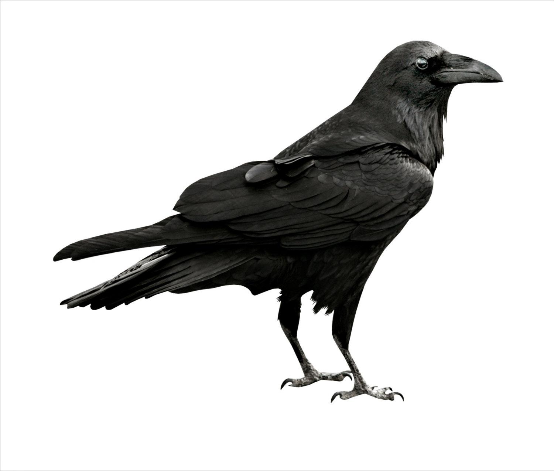 Crow clipart transparent background BIRD IMAGE Large Cutout BLACK