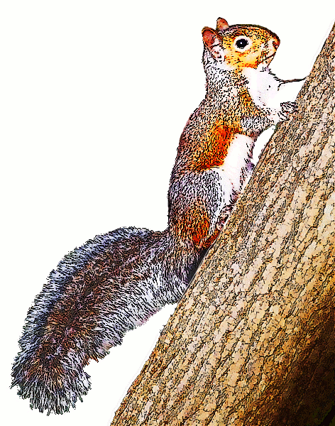 Tree clipart squirrel #5