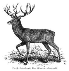Stag clipart Vintage Clipart Antlers Curious Deer