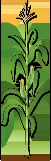 Stalk clipart Animated Animated corn Corn photo#2