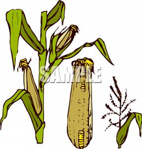 Stalk clipart Image: Royalty Corn the Stalk