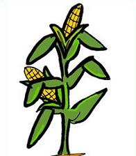 Stalk clipart Cornstalk Clipart Free Stalk Corn