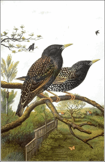 Starling clipart #15