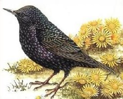 Starling clipart Starling Clipart Free Starling