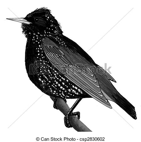 Starling clipart And Starling royalty free Sturnus