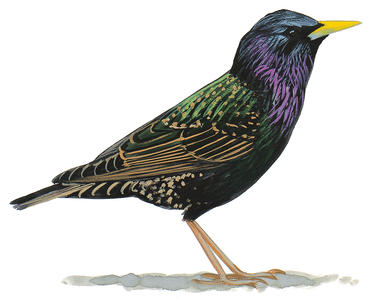 Starling clipart #5