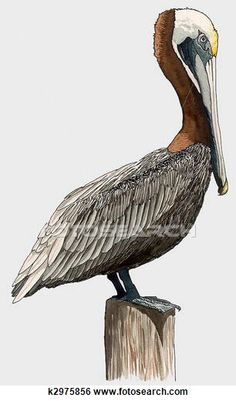 Pelican clipart louisiana To as: from and Pelican