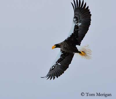 Steller's Sea Eagle clipart And fish 6 7 Sea