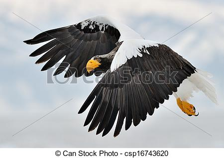 Steller's Sea Eagle clipart Flying Stock Eagle mountain csp16743620