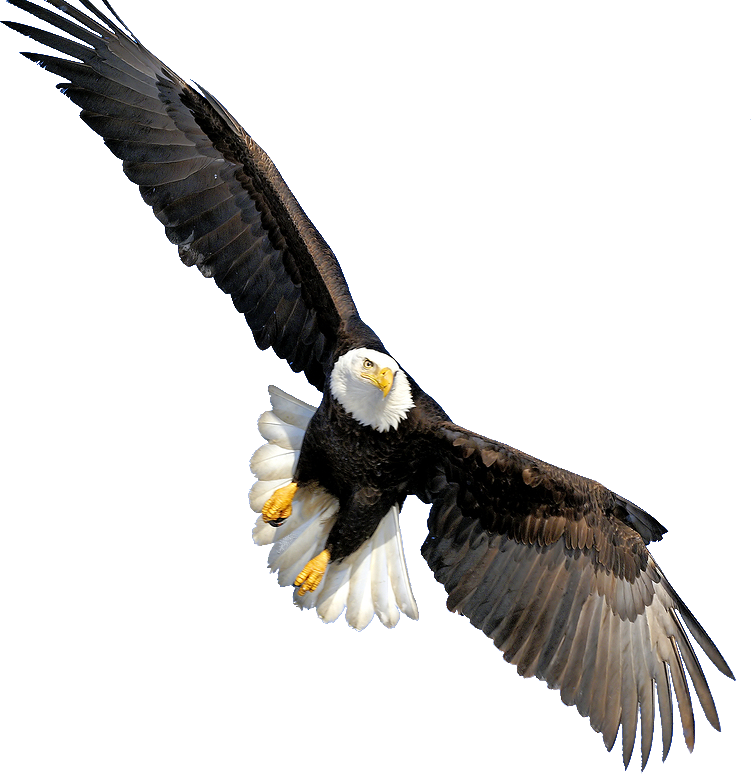 Steller's Sea Eagle clipart PNG Advertisement Bald Images gallery