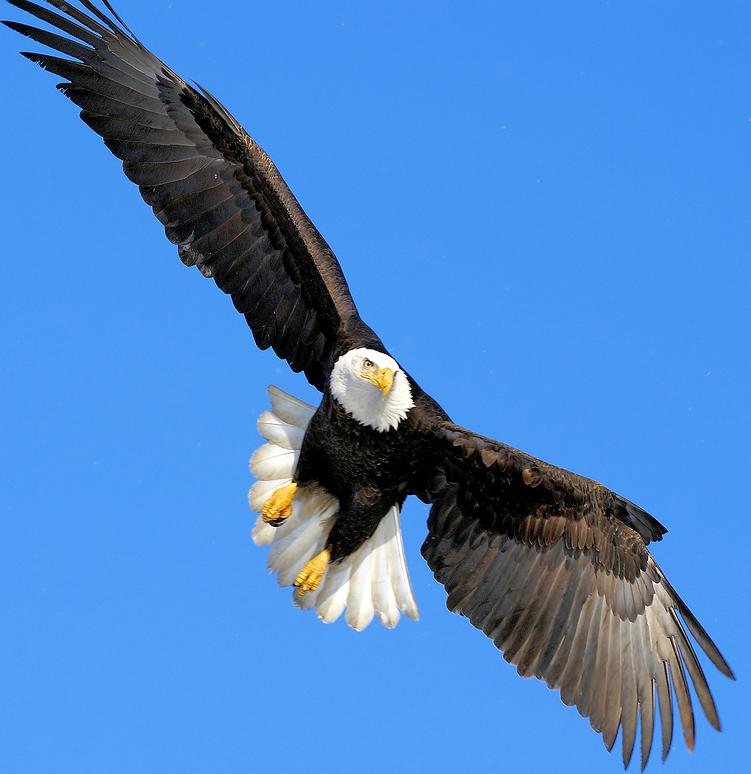 Steller's Sea Eagle clipart PNG Eagle Eagle Bald Transparent