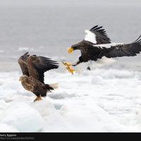 Steller's Sea Eagle clipart Sea Eagle Stellers Animated photo:
