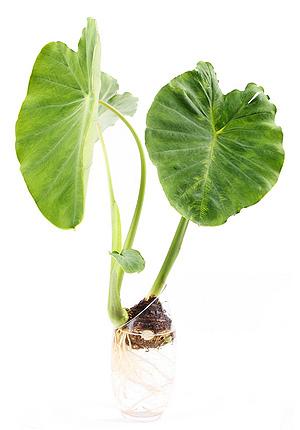Stem clipart gabi And Root Blog Health Natural