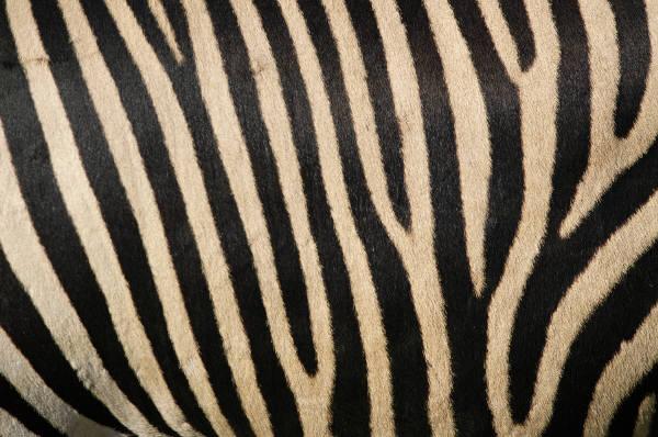 Stripe clipart camouflage Company Clip daylight zebra stripes