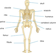 Structure clipart system Human Anatomy Art view Illustrations