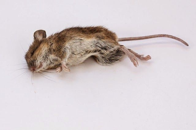 Suicide clipart dead mouse A animal child  http://proudpaganparents