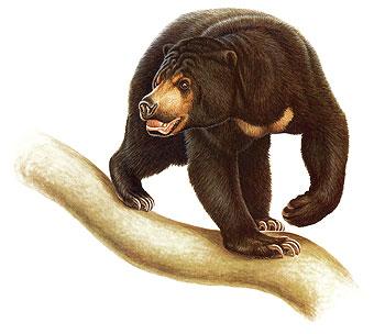 Black Bear clipart sun bear Management & :: Bear International