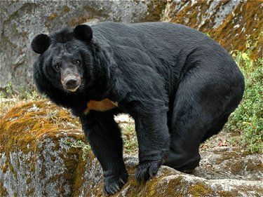 Black Bear clipart sun bear Is laniger) a Best subspecies