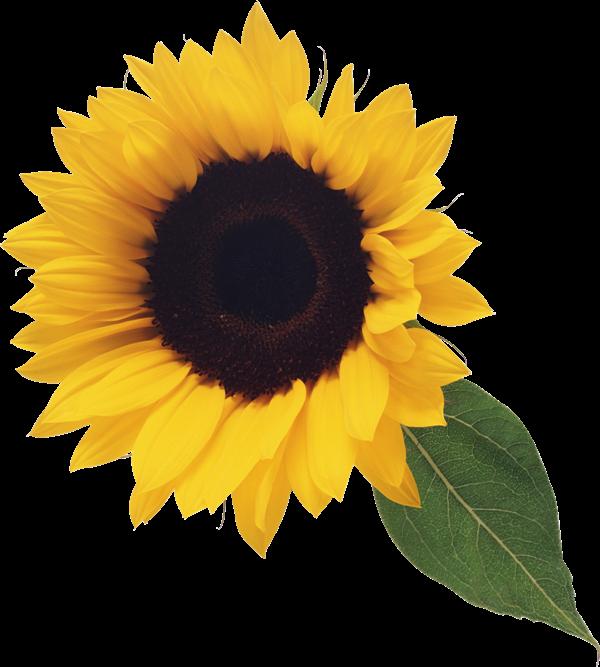 Sunflower clipart Clipart clipart Sunflower clip microsoft