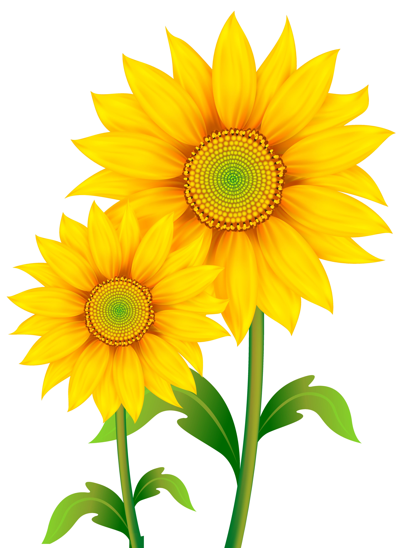 Yellow Flower clipart sunflower Full View Yopriceville  Sunflowers