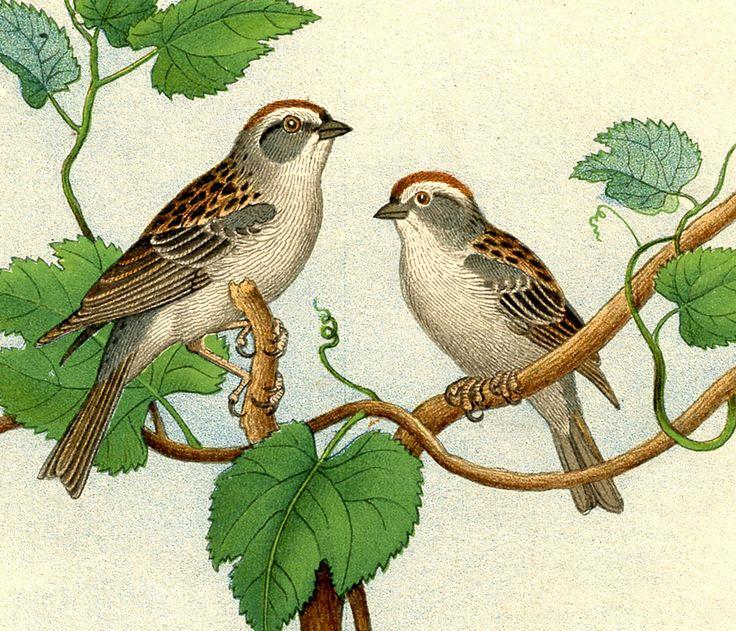 Swamp Sparrow clipart Vintage bird images about Pinterest