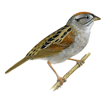Swamp Sparrow clipart Advertisement Sparrow All PNG Images
