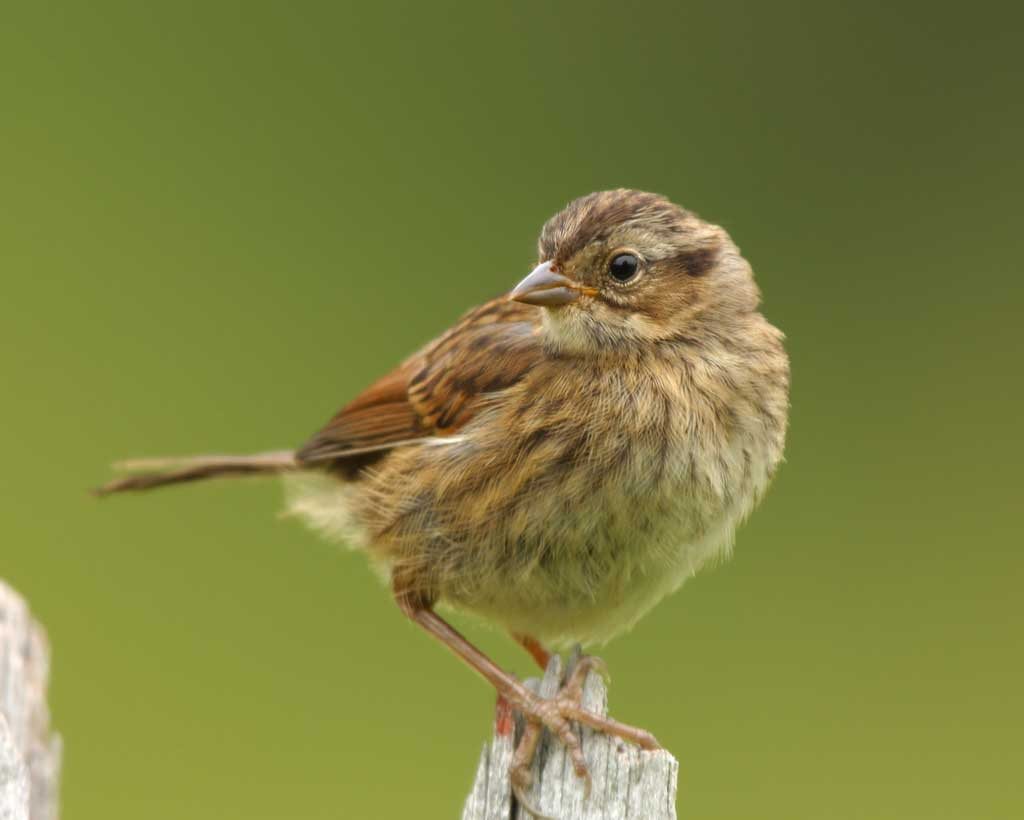 Swamp Sparrow clipart Photo Gallery Guide Song Audubon