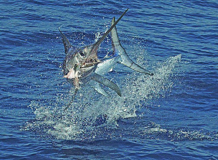 Swordfish clipart Pinterest #pinit best Deep Islamorada