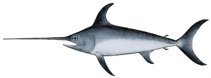 Swordfish clipart xiphias At online at Clker royalty
