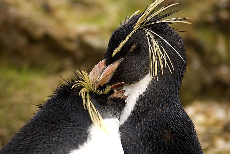 Symmetry clipart rockhopper penguin Southern Penguins Rockhopper Pinterest