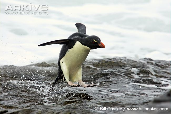 Symmetry clipart rockhopper penguin Rockhopper (Eudyptes chrysocome) 2009 Penguinology: