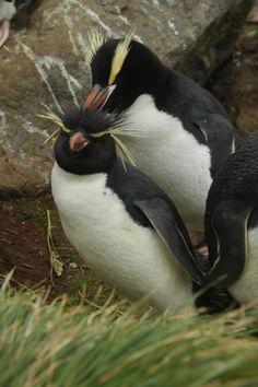 Symmetry clipart rockhopper penguin Facts penguin rockhopper African Pictures