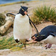 Symmetry clipart rockhopper penguin Penguins skill it's Southern Pinterest