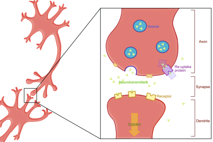 Synapse clipart Neurotransmitter Clipart Euptake process The reuptake both