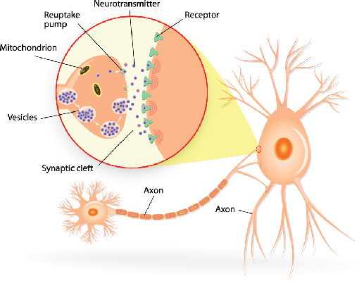 Synapse clipart Of From transmit Clipart diagram