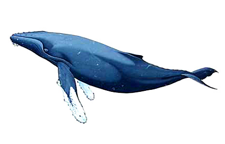 Blue Whale clipart humback Clipart clipart  Nautical Whatercolor