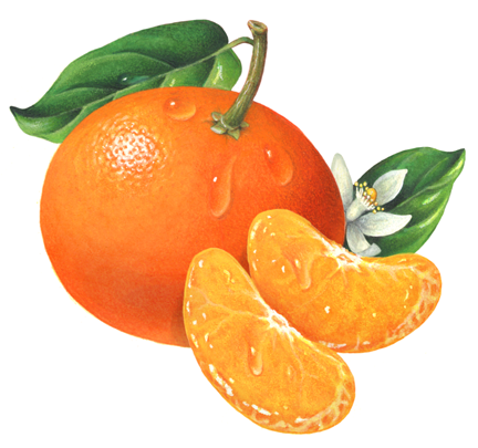 Tangerine clipart Two flower tangerine two tangerine