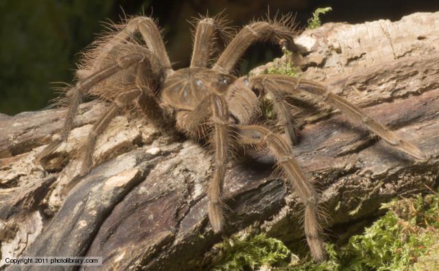 Tarantula clipart News eating BBC spider Goliath