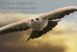 Tawny Eagle clipart Eagle tawny eagle photography &