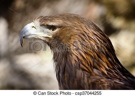 Tawny Eagle clipart Eagle the  rapax) of